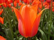 Продам луковицы тюльпана
