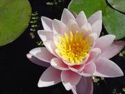 Водная лилия розовая Rosennymphe
