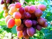 Работники на сбор персика и винограда