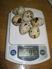 Предлагаю перепелиное инкубационное яйцо