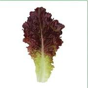 Семена салата KS 160 фирмы Китано