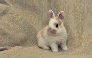 продам декоративных крольчат