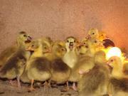 Гусята,  Цыплята из Балабино