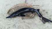 Продам рыбу товарную осетра,  зарыбок осетровых.