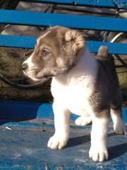 Продам щенков  азиатов