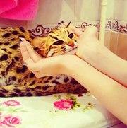 Продам котят азиатской леопардовой кошки