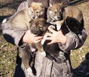 Продам щенков западно сибирской лайки от рабочих родителей