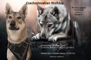 Щенки Чехословацкого влчака